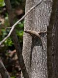 P4200279 First Lizard Sighting