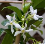 P5200013 Trachelospermum jasminoides