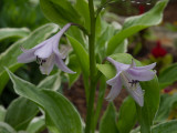 P5310160 Early Hosta Bloom