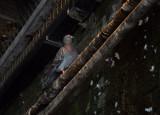 SIL50104 Pigeon in Passageway