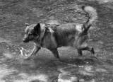 _1110857 Wading Dog