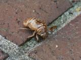 SIL30003 discarded cicada exoskeleton