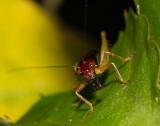 _MG_0644 Intimidating, huh? Red-headed Bush Cricket