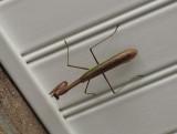 SIL00023 End of Summer Praying Mantis in entryway