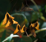 _A130142 Begonia Seed Pods