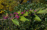 20141026_104036 Beauty Berry