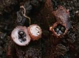 Birds Nest Fungus Macro