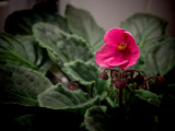 _1230089 Violet Blossom