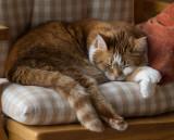 P1040165 Draped Cat