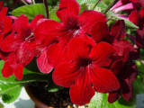 Streptocarpus Hot Rod