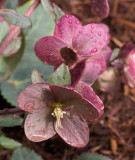 _1120300 Hellebore with raindrops
