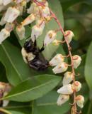 P4030034 Bee on Pieris
