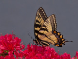P1040723 Swallowtail