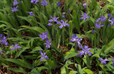 P4200107 Dwarf Crested Iris