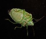 _MG_8235 Stink Bug on My Window