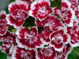 _1120701 Sweet William