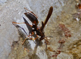 IMG_8600 Paper Wasp Drinking
