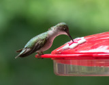 SIL50021 Boring stationary hummingbird