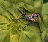 Incredible Assassin Bug