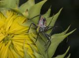 P1050551 Assassin Bug Nymph's Still Here!