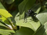 P1050622 Suspect Bob B. is correct - it's a Mydas Fly