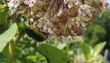 Big Beetle on Milkweed