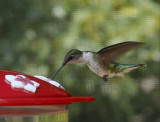 P1060001 Colorful Hummingbird