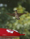 P1060003 Flying High Hummingbird