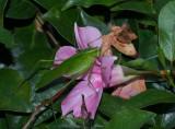 Katydid on mandevilla flower