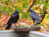 PA250079 Crows Strategizing