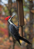 PB020119 Male pileated woodpecker