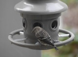 P1070613 First female pine siskin (with sunflower seed)