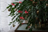 it may be February, but it IS a CHRISTMAS cactus!
