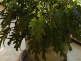 SIL50054 Philodendron bipinnatifidum