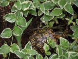 P1090115 Look who's lurking in my vinca