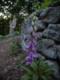 End of Day Foxglove