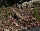 Gutsy little eastern fence lizard