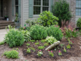 Celosias planted