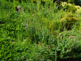chrysogonum virginianum, oregano,  garlic chives
