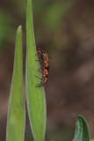 IMG_0794 Milkweed Bugs Mating