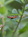IMG_0834 Acrobatic Milkweed Bugs