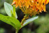 P7310108 Milkweed/Oleander Aphids