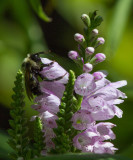 IMG_0961 Happy Bee on Obedient Plant