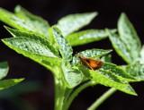 IMG_1084 Skipper on Cleome Leaf