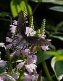 P1100345 Black Swallowtail