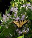 P1100380 Eastern Tiger Swallowtail