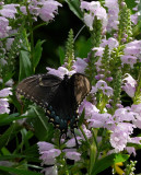 P1100391 Black Swallowtail - Female Dark Papilio Glaucus