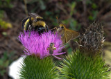 20160817_105723 Busy Thistle Visitors