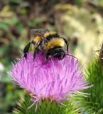20160817_110117 bee on thistle