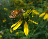 20160821_110958 skipper on yellow flower